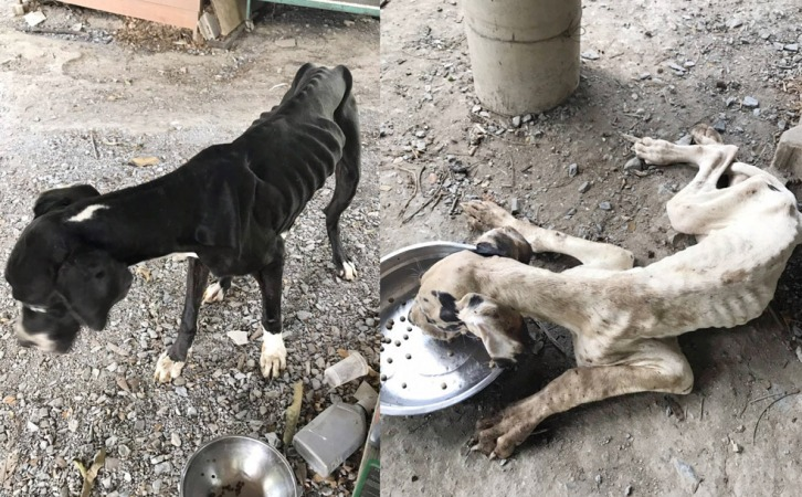 Image result for great dane thailand facebook king adopts